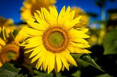 : Sunflowers via photopin (license)