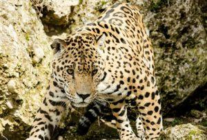 leopard-1337201_640